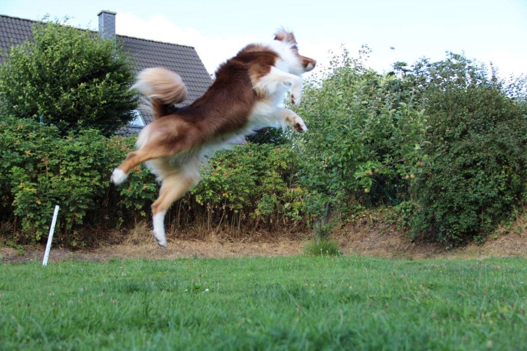Frisbee mit Hund