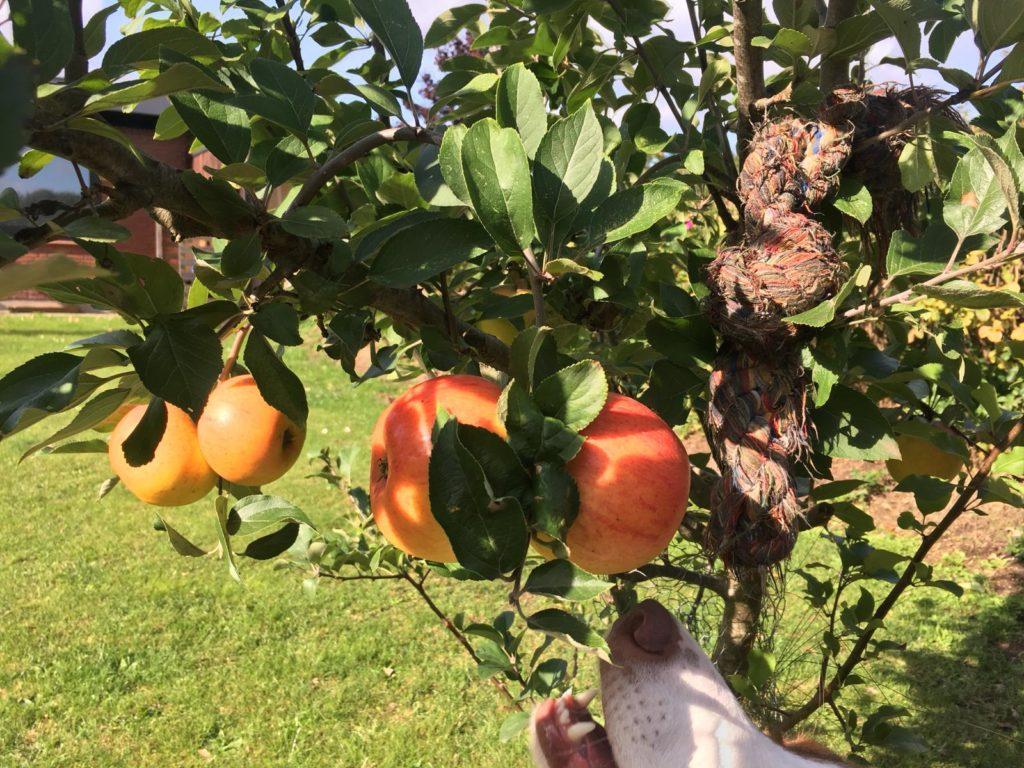 Hundegerechter hundesicherer Garten - Hund und Obstbäume, Wespen