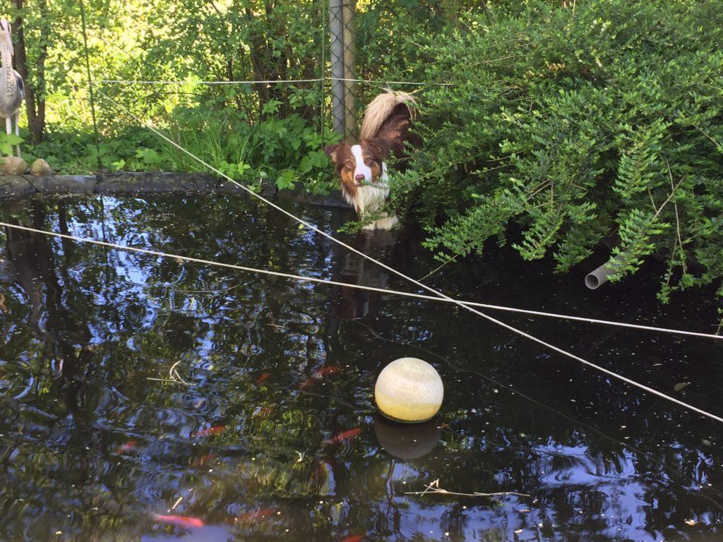 Hundegerechter GArten - Hund und Gartenteich