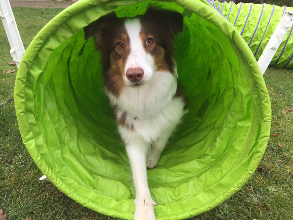 "Kommando ""Tunnel durch"" beibringen - Hundetraining - Agilitytunnel - hundtastisch.de"
