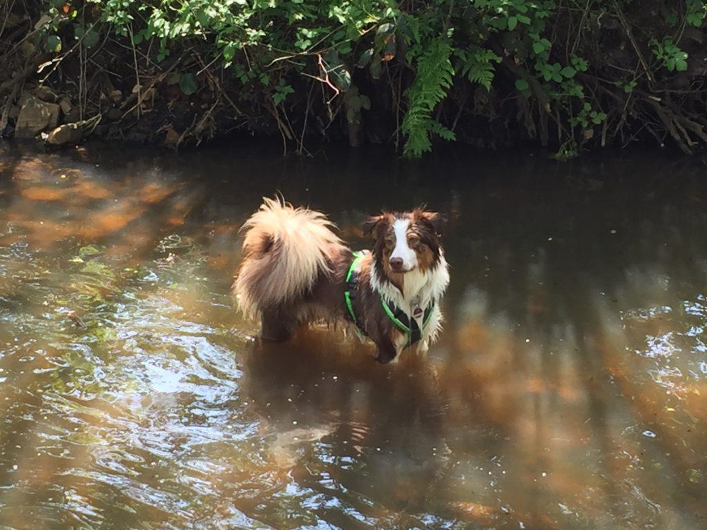 Anny-X Hundegeschirr Protect getestet mit Australian Shepherd Hündin - Erfahrungen - Testbericht - hundtastisch.de