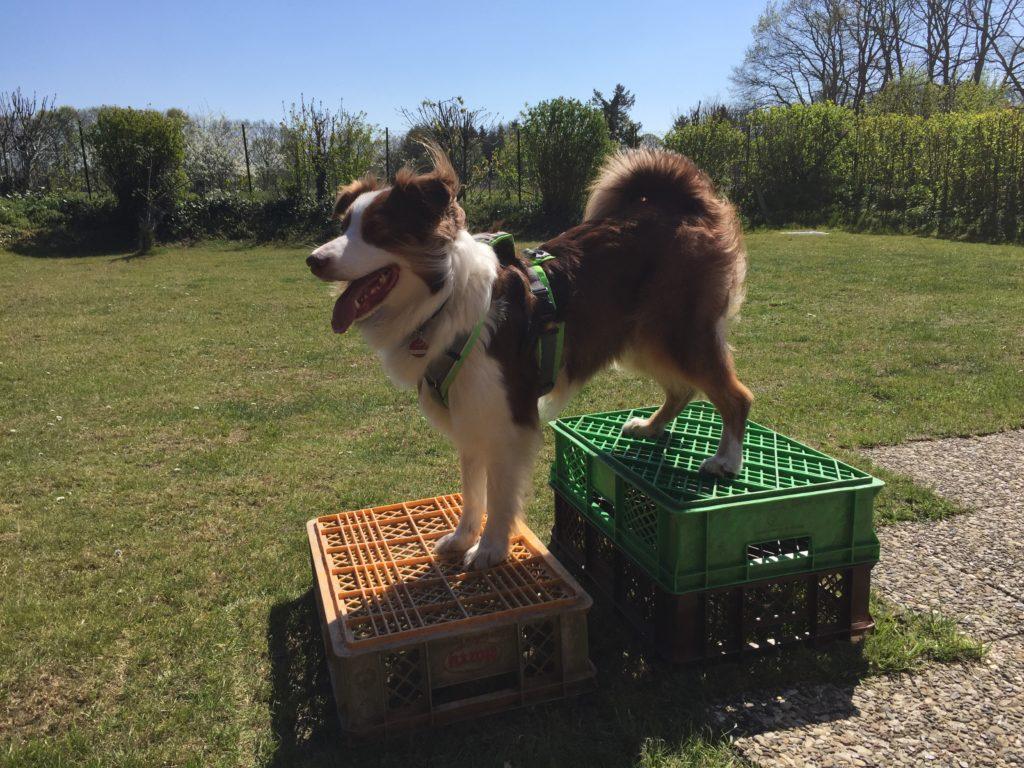 Bäckerkisten im Hundetraining - pfiffige Ideen fürs tägliche Trainingsprogramm - hundtastisch.de - Hund Tricks