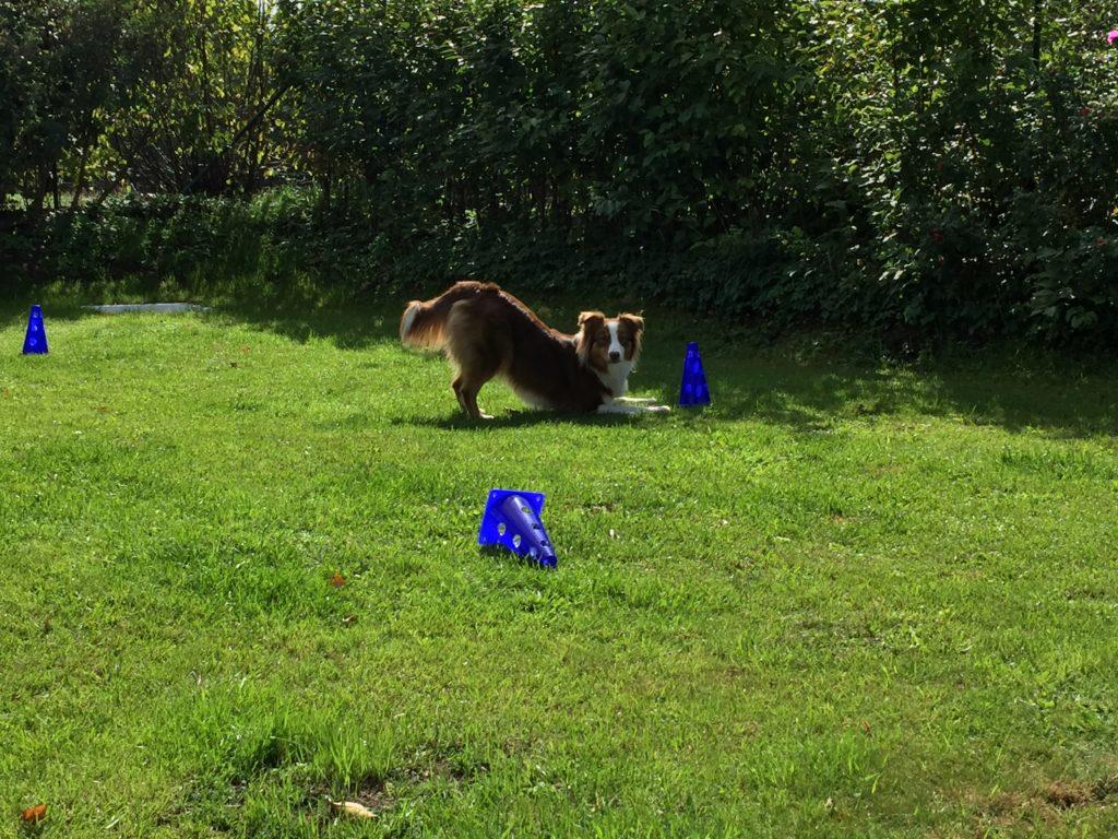 Anzeigeverhalten des Hundes - Vorstehen - aktiv, passiv, natürlich - Futter anzeigen beibringen - hundtastisch.de